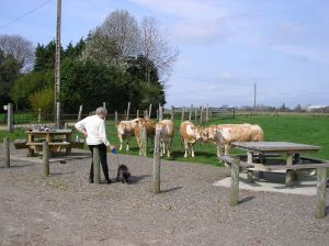 Janet and Bosun, with very interested cows